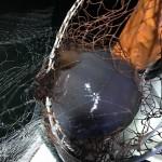 有明海クラゲシーズン到来!